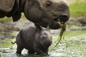 week in wildlife: A new born Indian rhinoceros cub and its mother
