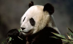 A giant panda eating bamboo.