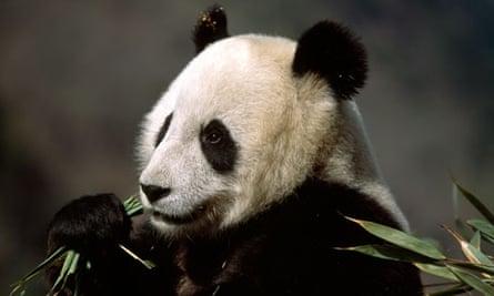 A giant panda eating bamboo.