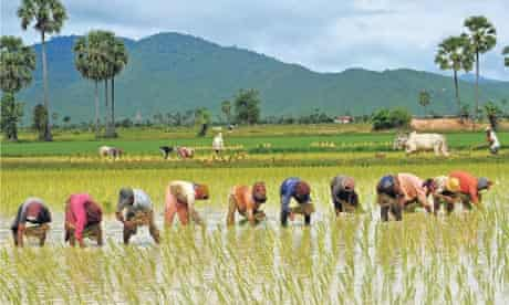 Cambodian farmers grow rice in a field