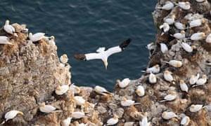 Gannets nesting on Bempton cliffs
