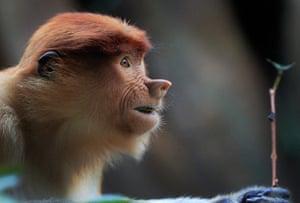 24 hours in pictures: Yokohama, Japan: A Proboscis monkey feeds at the Yokohama zoo