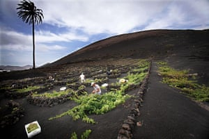 24 hours: La Geria, Lanzarote: Men pick grapes at a vineyard during the harvest