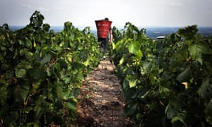 A grape picker carrying his harvest