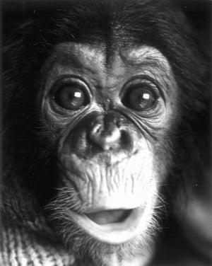 Project Nim: Nim Chimpsky, the chimpanzee subject of Project Nim