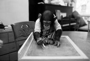 Project Nim: Nim Chimpsky uses chalk to draw on a slate.