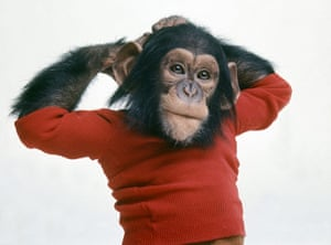 Project Nim: A chimp playing Nim Chimpsky in a still from Project Nim