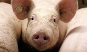 Farm pig
