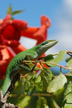 Week in wildlife: The genome sequence of the North American green anole lizard