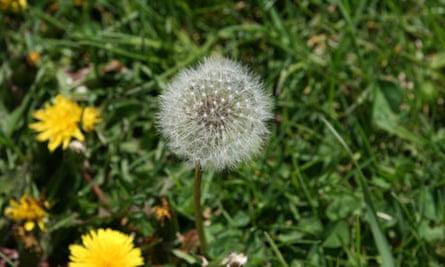 Dandelion Seed Puff