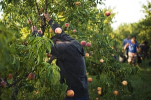 FTA: Attila Balazs: A day-worker shakes ripe fruit from a tree in a peach orchard
