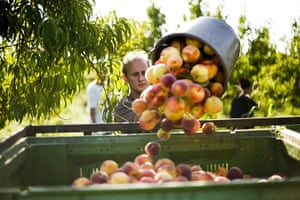FTA: Attila Balazs: A bucket of peaches is emptied into a container