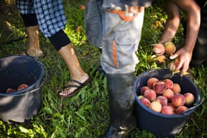 FTA: Attila Balazs: Day-workers pick peaches off the ground after they were shaken off trees