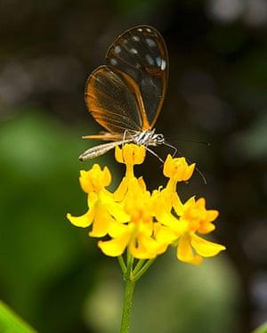 "week in wildlife: An Alissa de Pteronymia ""Crystal wings"" butterfly"