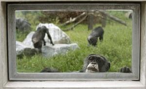 week in wildlife: A chimpanzee looks through a window at sanctuary in Gaenserndorf