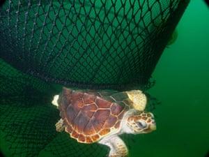 week in wildlife: Loggerhead turtle near fishing nets