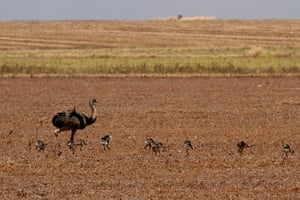 week in wildlife: Ostriches are seen at a farm in the Cerrado ecosystem