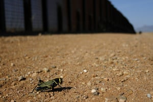 week in wildlife: A grasshopper rest along the U.S. and Mexico border fence in Naco, Arizona