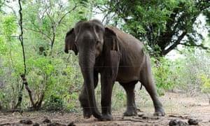 An elephant in Sri Lanka
