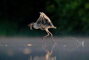 BWPA: Andrew Parkinson : Grey Heron Walking on Water