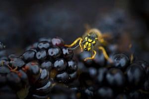 BWPA: Rana Dias  : Busy Wasp on Blackberries