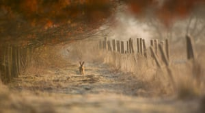 BWPA: Ian Paul Haskell  : Hare in Morning Light with Hoar Frost