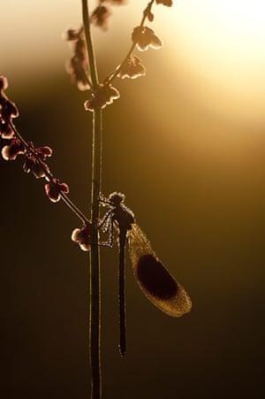 BWPA: Ross Hoddinott : Summer Insects: Backlit Banded Demoiselle