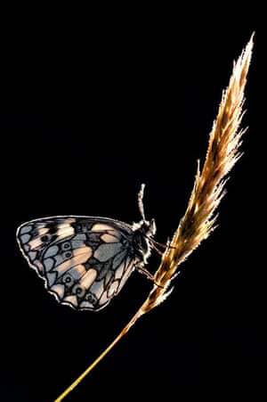 BWPA: Ross Hoddinott: Summer Insects: Backlit Marbled White Butterfly