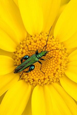 BWPA: Ross Hoddinott: Summer Insects: Thick-legged Flower Beetle on Corn Marigold