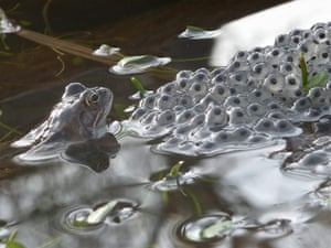 BWPA: Walter Lovell : Frog Checking Its Frogspawn