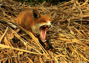 BWPA: Oliver Wilks : Red Fox Yawning After His Afternoon Nap