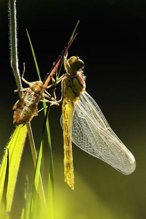 BWPA: Ross Hoddinott : Summer Insects : Newly Emerged Darter