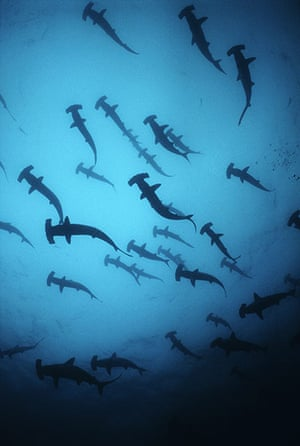 The Sea: Scalloped Hammerhead Sharks