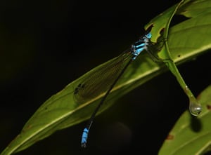 Week in wildlife: dragonflies like this Myristica Bambootail