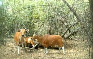 Week in wildlife: Banteng