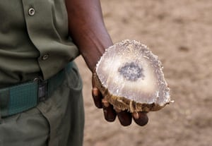 Week in wildlife: A ranger shows part of a rhino horn