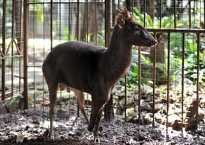 Week in wildlife: Philippines brown deer