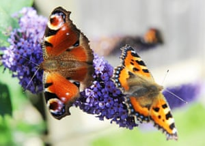 Week in wildlife: A Peacock butterfly  and a Small Tortoiseshell butterfly