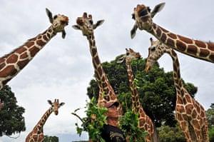 Week in wildlife: giraffes with tree leaves in Busuanga, Palawan