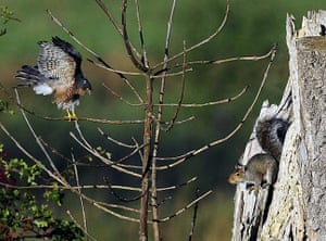 Week in wildlife: Squirrel and hawk face off