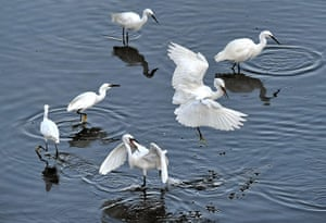 Week in wildlife: Migrant egrets