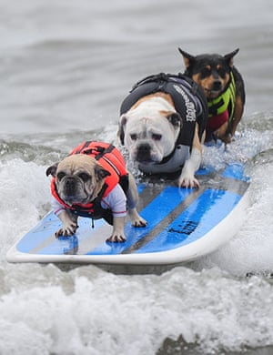 Surf City Surf Dog: Three dogs ride on the same surfboard