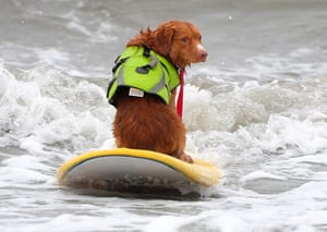 Surf City Surf Dog: A dog rides a wave while sitting backwards