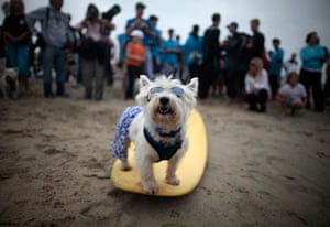 Surf City Surf Dog: A dog poses on a board at the surf dog contest