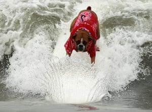 Surf City Surf Dog: Boxer dog Hanzo Felland rides a wave in his beach shirt