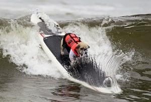 Surf City Surf Dog: A dog rides a wave at a surf dog contest in Huntington Beach, California