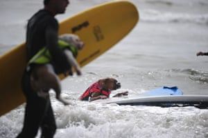 Surf City Surf Dog: A dog climbs back onto his board