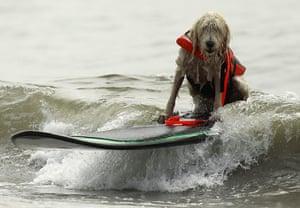 Surf City Surf Dog: A dog rides a surfboard at a surf dog contest in Huntington Beach
