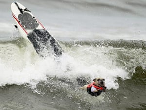 Surf City Surf Dog: A dog wipes out during a surf dog contest