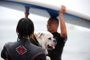 Surf City Surf Dog: An owner carries his dog to the water for his next run